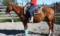 """Two Page Robin"" is a registered 2005 AQHA mare. She stands at 15hh, lots of forward movement .Very friendly and not spooky at all. Broke western & English. She is ready to go in the direction you choose to finish her in. Had a filly and is a great"