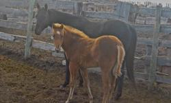 AQHA registered geldings, mares and foals for sale with great bloodlines. There are all shapes and colours to choose from, many with the potential to become amazing rope/barrel/ranch/pleasure horses. Prices vary and there are too many to post a picture of