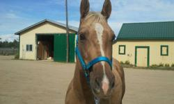 3 year old started gelding.Docson Player Jac is well bred and smart guy. He has a great mind and has done his ground work and is ready to start under saddle. His front right hoof is a bit undergrown. He is sound for trail or pleasure riding. This will be