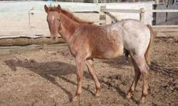 Very cute and friendly colt.  He has been gelded!!!!!  Wormed, vaccinated, and feet trimmed regularly. This is an exceptional colt, with excellent bloodlines.  He will make a super cowhorse or  excellent hunter pony.  He should mature 14-14.1hh, and is a