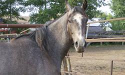 I have 6 AQHA roan mares-4 Blue roans and 2 Red Roans. Mares are pasture bred in 2010.  Also, Blue Roan Skipper W Stallion.  There are 4 mares that are 3YRs old and 2 are 2YRs old. Stallion is a 3YR old. Very nice young herd. Pick individual mare-$1000.00