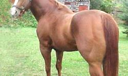 SO SELECT - WEISCAMP BRANDED STALLION (AQHA REG'D) SO SELECT PEDIGREE: http://www.allbreedpedigree.com/so+select So Select Registered AQHA and APHA Approved Stallion Registered FQHA Registered AQHA Stallion, Line Bred Skipper W., Wiescamp branded, 15.1hh,
