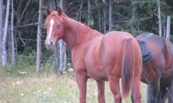 AQHA YEARLINGS Have many yearling aqha registered foals for sale... Picture 1 - Docs Downtown Desire (Dynamite)                   (Downtown Skeets x Docs Dualin Desire) Picture 2 - Jet River Skeets (Wrangler)                   (Downtown Skeets x Peppy Jet