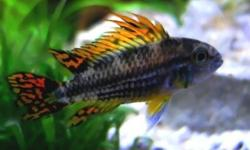 I have a few stems of the following plants I am looking to trade for either fish or other plants. All of the plants are great starter plants, able to withstand lower light levels. They are all growing very well in my fish tanks, with little algae or