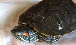 I have three beautiful, tame aquatic turtles that I need to rehome: one is a red eared slider who is around 3 and a half years old,  a yellow bellied cooter who is around 2 years old, and a map turtle who is around 3 they all need good, safe homes. The
