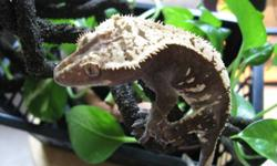 AR REPTILES IS HAVING THEIR HOLIDAY SALE FROM NOW UNTIL JANUARY 8TH! GIVE A HAPPY CRITTER A NEW HOME FOR THE HOLIDAYS, OR BRING IN THE NEW YEAR WITH AN EXCITING NEW PET! Crested geckos are a very hardy, low-maintenance pet. As a fruigivorous species, they