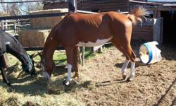 4 year old gelding for sale halterd and some round pen workdone.big bodied and willing.i am under the weather but would like to continue riding .i.can not ride or break horses any more .so would consider a trade for an older very safe horse to