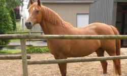 Big 13yr old chestnut arab standardbred cross, stands 15.2 hh, UTD on shots/teeth/feet. Has been ridden by a cowboy in the bush all spring and summer. Asking $2000.00, a good home most important. Email for more info