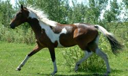 """""""Gemma"""" is a 2 yr old Registered  Dark Bay Tobiano Pinto (warmblooded)   This Young Mare has all the ground work done!  She has been tacked up, and stood great for Farrier, vaccinations, deworming etc. This Girl has been lightly started, as a 2 yr old;"""