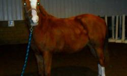 Flicka is a 7 year old arab/quarter horse mare 14.3 hands high. She has experience in Western and English. Recently I've been jumping with her and she is excellent at it. She was used in 4-H as a project horse for multiple years. She has great endurance,