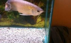 I have 2 arowana for sale I would really like to sell them as a pair because it is extreamly hard to find two that will get along in a tank they are known to be territorial. one of them will come with a certificate. one is 22 inches and the other is 18