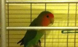 I'm selling my love bird because i'm doing my senior year in high school and don't have the time to take of him and give him the attention he needs.     Alot of toys     Two months of food and treats      Bird cage      Food/water dish      Don't have