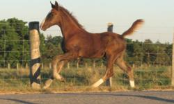 General is a stud colt, Sired by JIM BOB hackney stallion and out of Dutch Harness mare Dinterra (Saffrann Granddaughter). He is a sharp looking colt with good conformation. Should Mature around 16H. Was imprinted at birth and has basic foal handling, has