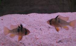 I have an assortment of baby ram cichlids for sale.  Approx 3-4 months old.  Need a new home asap because tank is over crowded.  Asking 6$ each OBO (pet stores run approx 9-10$ each).   Please contact 289-489-3311 asap Thanks....