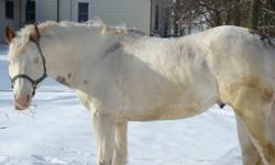 "Canadian Ice aka ""Tucker"" is standing to a limited # of mares for the 2012 season. He is an amazingly quiet boy, has great conformation and superior temperment. He throws a variety of colors and patterns, and most of his get are fillies. His get are"