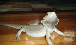"""We have a beautiful Male Bearded Dragon. He is 2 years old and goes by the name """"Spike"""". With Spike you will also get a 40 gallon reptile tank with lid, 2 light fixtures and bulbs. Also anything else that is in the tank for him, like his wood planks he"""