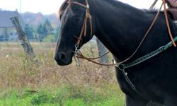 This is Apollo. He's a 16.1 hh TB gelding, He's 7 years old. Very quiet. Good on trail rides alone and with a group. An easy horse to connect with. Has been to the fall fairs and did very very well. He won over $700.00. Amazing jumper. He would be good