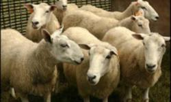 Aylmer Stockyards Inc. 8933 Walker Rd. Aylmer, ON N5H 2R1 519-765-2672 Christmas Lamb & Goat Sale December 14 & 21 Sale Starts At 12 Noon Lamb & Goats Needed  Cull Cows Are in Strong Demand Regular Wednesday Sales Thoughtout Christmas & New Years