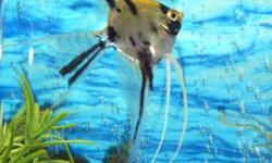 I HAVE A BABY ANGEL FISH FOR SALE THAT IS VERY FRIENDLY AND HEALTHY. I PAYED $15.00 FOR HIM JUST A FEW MONTHS AGO. I HAVE 3 OTHER ANGELS AS WELL BUT I AM RUNNING OUT OF ROOM FOR THEM ALL IN MY TANK. I AM HOPING TO HAVE A BIGGER TANK SOON BUT WHEN THAT