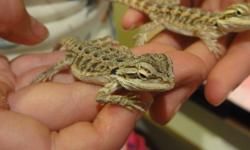 13 Babies hatched Aug 2011 are now able move on to loving homes! They are all healthy and growing rapidly on their diet of crickets and Kale. Bearded Dragons make amazing pets! They are extremely social creatures who would make a wonderful addition to any