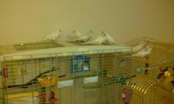 Eight weeks old baby budgies.  White with light blue.  Beautiful birds.  Two available.  $25 each.  Used to being touched.  Call 605-600-1372 for more details or to set up a time to come see them.  Thanks. Be sure to bring something to carry them home in.