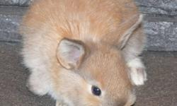 We have some baby bunnies that we are selling, we are asking $10 each or best offer. There are 6 total. Pictures will removed of the individual bunnies as they are sold.