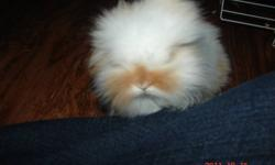Two male baby bunnies for sale. Half Holland Lop and half Lionhead.  Very cute, calm little guys.  Seven weeks old right now.  Handled since birth.  $25.00 each.