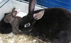 Very cute little baby bunnies for sale. Mom is a Rex, Dad is a dwarf Lionhead. Babies look like Mom. Very smooth short silky fur. I have 3 left to find new homes for.Mom is black rabbit in first picture. Babies are white, black and brown ( he is behind