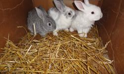 Baby bunnies are $10.00 each. Will include some hay to get you started. Will be a medium to large size rabbit when full grown.