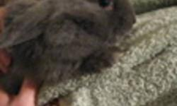 For sale 3 of the cutest little baby bunnies...almost 6 weeks old. The father is an Angora rabbit, mother short hair, the babies have lopped ears, but I can't see yet if their fur is  going to be as long as daddies. We think the grey one is a male..the