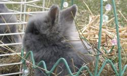 Perfect for Christmas! Born October 28th - almost 8 weeks old. One is all black and the other is all grey. Mix between a Netherland dwarf male and a Lion-head female. Short eared, fluffy little shnokcums! They're so cute!