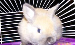 Hello there everyone, I have for sale a baby bunny light brown with some grey on belly. possibly female but too small right now to know for sure. It comes with cage, water bottle, food dish and a starter bag of rabbit food. asking $35.00   Also have a