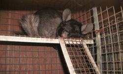I HAVE TWO BABY CHINCHILLA,S FOR SALE VERY SWEET LITTLE ONES READY TO GO TO THERE NEW HOMES THERE JUST OVER 10WEEKS OLD, ONE IS GREY AND THE OTHER BLACK VELVET.   I ALSO HAVE BREEDING PAIRS FOR SALE ,AND ONE BONDED PAIR OF MALES FOR SALE.   I ALSO HAVE