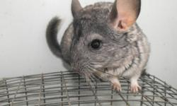 Baby Chinchillas for sale.  Beige and Grey.  Starter Kits also available.