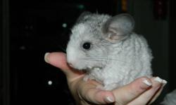 We have many baby chinchillas now ready to go to there forever homes. We have whites, greys, and cinnamons. The prices and ages range depending on the color. We also have cages for sale as well.