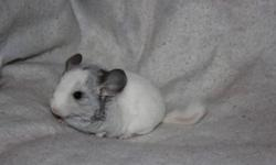 One beautiful mosiac male chinchilla ready to go Jan 11/12 $100.00.One standard grey male ready to go  for $50.00.Two pink white females(with dark eyes) ready to go $100.00 each.All chinchillas are from excellent breeding stock and come with