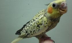 hand feed baby cockatiels $95 each call 694 6049 pearl or grey or pied  pearl after christmas