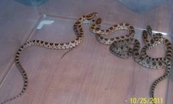 Baby corn snakes for sale, born in August 2011 Father is a Ghost Corn and Mother is an Aztec.