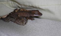 2week old crested geckos for sale both eating Gecko MRP and baby food mixture as well as smallcrickets, 60 for both or 40 each.