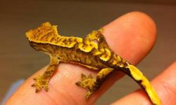 I have 4 for sale. All great colors and eating repashy gecko food. Easy to care for and full of energy! Will do all 4 in a lot deal for $220.00 Must cheaper than in store prices!! This ad was posted with the Kijiji Classifieds app.