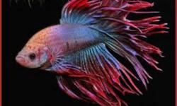 I ONLY HAVE A FEW LEFT! Healthy ACTIVE CROWNTAIL Bettas <3 This bettas aren't like in Petstore they are CROWNTAILS and then they grow up they will have unique fins! Selling the father for $6 (First picture) They are so cute, 1-2 inches and they come with
