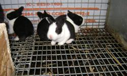 Fully pedigreed baby dutch rabbits. Ready the first week of November. Show quality $35, Pet quality $25, but all have full pedigrees with lines from Quebec and the States. Taking deposits now $15. 1 pet quality buck, 2 show quality bucks left too. More