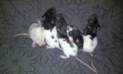 Recently my pet rat just had 9 babies and even though i would love to keep them all, their outgrowing there cages too fast. Each baby has been hand tamed and they are all very friendly. I will be selling them for 5 dollars each.