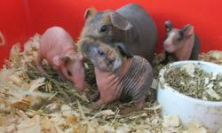FOR SALE   Baby Female Skinny Pigs Born Dec 7th 2011 Will be ready to re-home from the 4th January 2012.   $100 each