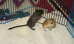 Hello, we have been professionally breeding gerbils for two years now on a small scale (two breeding pairs) for two reputable pet stores. We have 7 beautiful 8 week old female gerbils that are ready to go to loving and caring homes.   All our gerbils are