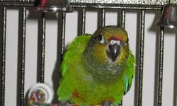 """Baby Green Cheek Conure For Sale Very tame, potty trained & already knows """"turn around"""". Loves to lay on its back in the palm of your hand. Beautiful, healthy & looking for a forever home. Serious inquiries only. Email or call (403)504-6257"""