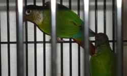Baby Green Cheeks Conures For Sale for $119 each5 month old baby green cheek conures for sale born on August 14 2011.Not tamed, or DNA'ed. Cages available for $20+If interested please call Joe or Stephanie at 905 450 6590 or 416 648 1961
