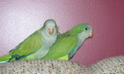 Three baby green quakers are ready for their new homes. Banded, fully weaned, and tame. Breeder is a member of the AACC