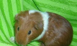 2 Baby Guinea Pigs Looking For Loving Homes. 1 Dark Red and White Female   1 Cream and White Male. Born July 27th 2011 and are Currently 11 Weeks Old. Both are Sweet and Loving. I Have Both Parents On Site For You To Meet. Asking $15 each (They Each Come