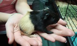 Hey,   We have 2 female guinea pigs for sale, they'll be ready to go on January 2nd, the 2 boys were picked up on boxing day. Tequila (mom) is a short-haird with orange, black and white colouring and Guiness (dad) is a long-haird with black and
